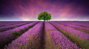 Lavender Field - Young Living Essential Oils